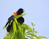 Red-winged κότσυφας 2 Στοκ Φωτογραφίες