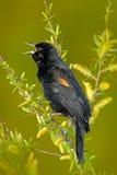 Red-winged κότσυφας, militari Sturnella, με τον ανοικτό λογαριασμό Μαύρη συνεδρίαση πουλιών στον πράσινο βιότοπο φύσης Σκηνή άγρι Στοκ Φωτογραφία