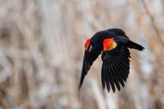 Red-winged πέταγμα κοτσύφων Στοκ φωτογραφία με δικαίωμα ελεύθερης χρήσης