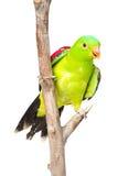 Red-Winged παπαγάλος (erythropterus Aprosmictus) στο μέτωπο απομονωμένος στοκ εικόνες