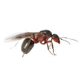Red winged ant isolated on white Stock Image