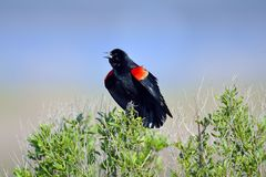 Red-winged Black Bird Royalty Free Stock Photography
