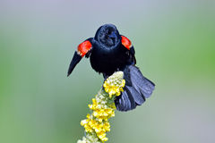 Red-winged Black Bird Stock Photo