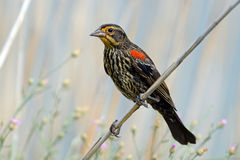 Red-winged Black Bird. Juvenile Red-winged Black Bird sitting on branch royalty free stock images