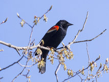 Red-winged black bird on branch Stock Image