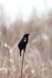 Red winged black bird Royalty Free Stock Photo