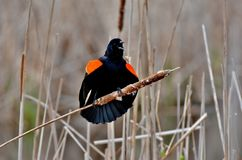 Red-winged black bird. A male Red-winged black bird's agonistic behavior, known as perched display stock images