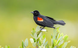 Red Winged Black Bird -  Perched - Green Background Royalty Free Stock Photo