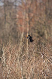 Red winged black bird 3 Stock Images