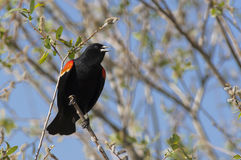 Red winged black bird singing. Royalty Free Stock Photography