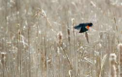 Red winged black bird Stock Images