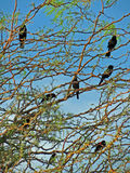 Red-Winged Black Birds Stock Images