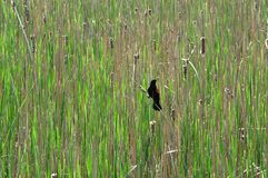 Red-winged Blackbird. On a reed in wetlands Royalty Free Stock Images