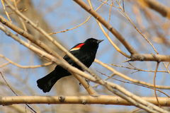 Red-winged Blackbird. A male red-winged blackbird perched on a branch at Warroad Park Point in Minnesota Stock Photos