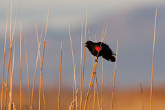 Red-Winged Blackbird. Red Winged Blackbird Singing Perched on Reed stock photos