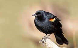 Red winged blackbird Royalty Free Stock Photo