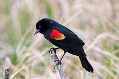 Free Red Winged Blackbird Royalty Free Stock Image - 140895266