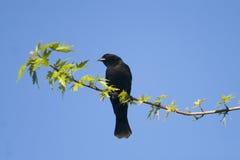 Red Winged Blackbird Stock Image