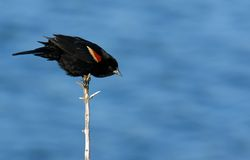 Red Winged Blackbird. (Agelaius phoeniceus) perched on branch stock photo