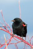 Red-winged Blackbird. Closeup of a Red-winged Blackbird Stock Images
