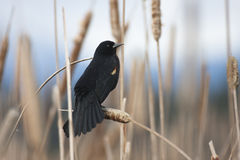 Red-winged Blackbird Royalty Free Stock Photography