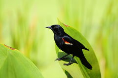 Red-winged Blackbird Royalty Free Stock Photo