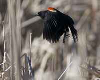 Red-Winged Blackbird. A male red-winged blackbird (Agelaius phoeniceus) takes flight at Great Meadows National Wildlife Refuge in Concord, Massachusetts Stock Photography