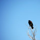 Red Winged Blackbird. Red-winged blackbird sitting on a branch against a blue sky Royalty Free Stock Photos