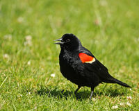 Red-winged Blackbird Royaltyfri Bild