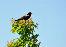 Red Winged Blackbird. Perched on tree branch Stock Photo