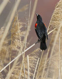 Red-Winged Blackbird. Perched on branch, looking up royalty free stock image