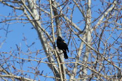 Red-winged blackbird. This is a red-winged blackbird Stock Image