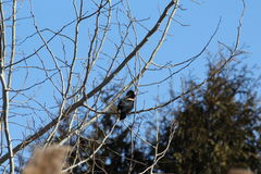 Red-winged blackbird. This is a red-winged blackbird Royalty Free Stock Photography