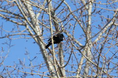 Red-winged blackbird. This is a red-winged blackbird Royalty Free Stock Image