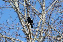 Red-winged blackbird. This is a red-winged blackbird Stock Photos