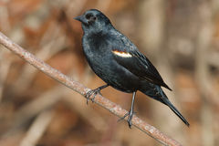 Free Red-winged Blackbird Stock Images - 52457004