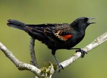 Free Red Winged Blackbird Royalty Free Stock Photos - 64225268