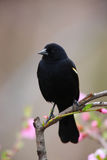 Red-winged Blackbird. (Agelaius phoeniceus phoeniceus), male sitting on branch with flowers in background Stock Photo