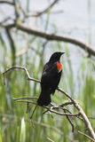 Red-winged blackbird. Sitting on branch by marsh Royalty Free Stock Image