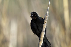 Red-winged Blackbird, Agelaius phoeniceus Royalty Free Stock Photography