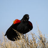 Red-winged Blackbird, Agelaius phoeniceus. Male Red-winged Blackbird sings to defend his territory in spring Stock Photo