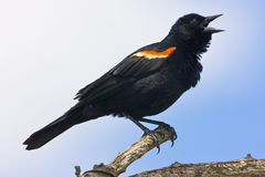 Red winged blackbird (Agelaius phoeniceus Stock Photo