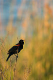 Red-winged Blackbird Agelaius phoeniceus. Royalty Free Stock Image