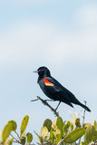 Red-winged Blackbird Agelaius phoeniceus. Stock Photos