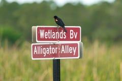 Red-winged Blackbird Agelaius phoeniceus. Royalty Free Stock Photo