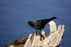 Red-winged blackbird, Agelaius phoeniceus Royalty Free Stock Photo