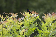 Red-Winged Blackbird & x28;Agelaius Phoeniceus& x29;. Red-winged blackbird in a bush Royalty Free Stock Photography
