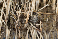 Red-winged Blackbird, Agelaius phoeniceus. Female Red-winged Blackbird in the marsh at Alamosa National Wildlife Refuge in Colorado Stock Images