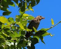 Red Winged Blackbird Or Agelaius Phoeniceus Stock Photos