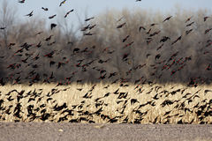 Red-winged blackbird, Agelaius phoeniceus. Flock, New Mexico, USA, winter Stock Photography